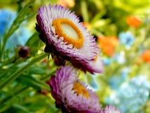 De Bloemen van het stro in Volledige Bloei Stock Afbeeldingen