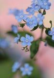 De bloemen van het vergeet-mij-nietje Stock Foto