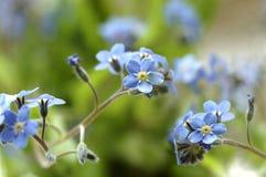 De bloemen van het vergeet-mij-nietje Stock Afbeelding