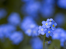 De bloemen van het vergeet-mij-nietje stock foto's