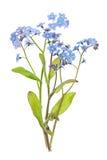 De bloemen van het vergeet-mij-nietje op wit stock foto