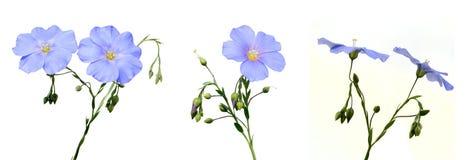 De bloemen van het vlas Royalty-vrije Stock Foto's