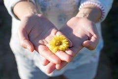De bloemen van de holdingschrysant stock afbeelding