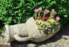 De bloemen van Houseleek (Sempervivum) in buikfles Royalty-vrije Stock Foto's