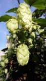 De Bloemen van Humuluslupulus stock fotografie