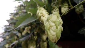De Bloemen van Humuluslupulus stock foto's