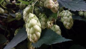 De Bloemen van Humuluslupulus stock afbeeldingen
