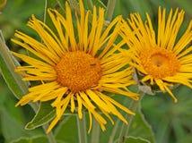 De bloemen van Inulamagnifica stock foto