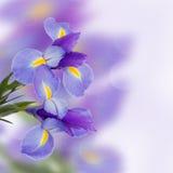 De bloemen van irissen stock foto's