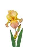 De bloemen van irissen het is   Stock Afbeeldingen