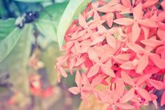 De bloemen van Ixora Royalty-vrije Stock Afbeeldingen