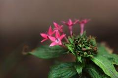 De bloemen van Ixora Stock Afbeeldingen