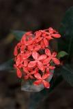 De bloemen van Ixora Royalty-vrije Stock Foto's