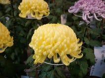 De bloemen van Japan in de ochtend en het Mooie weer g royalty-vrije stock foto