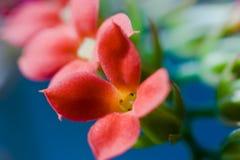 De bloemen van Kalanchoe Stock Foto