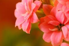 De bloemen van Kalanchoe Stock Foto's
