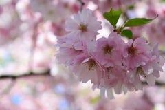 De bloemen van de kersenbloesem in het park stock foto