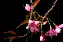 De bloemen van de kersenbloesem op de bloeiende achtergrond van de scèneaard Royalty-vrije Stock Afbeeldingen