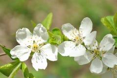 De bloemen van kersenboom in hoog licht Royalty-vrije Stock Foto