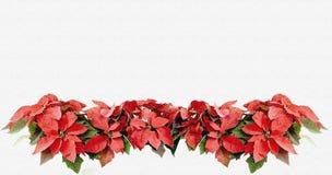 De bloemen van kerstkaartpoinsettia Royalty-vrije Stock Foto's