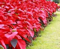 De bloemen van Kerstmis. Stock Afbeeldingen