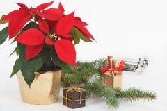 De Bloemen van Kerstmispoinsettia met giften en spartakken Royalty-vrije Stock Foto's