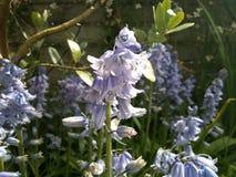 De bloemen van de klokjeinstallatie tuinieren blauw royalty-vrije stock foto's