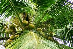 De bloemen van kokosnoten en jonge vruchten stock afbeeldingen