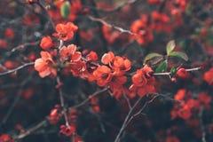De bloemen van de koraalkweepeer royalty-vrije stock foto's