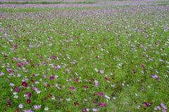 De bloemen van kosmosbipinnatus het blazen stock afbeelding