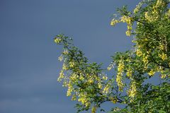 De bloemen van de laburnumboom Royalty-vrije Stock Foto's