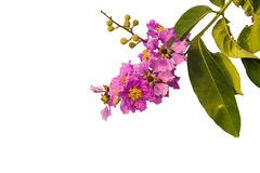 De bloemen van Lagerstroemiafloribunda, Lagerstroemia-speciosa of tabak boom in Thailand Stock Afbeelding