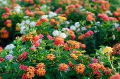 De bloemen van Lantana royalty-vrije stock afbeeldingen