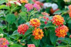 De bloemen van Lantana stock foto's