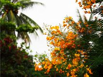 De bloemen van Laos van Dokkhou Stock Foto