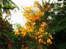 De bloemen van Laos van Dokkhou Stock Fotografie