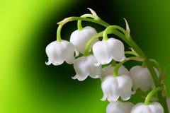 De bloemen van de lelietje-van-dalenlente Stock Afbeeldingen