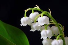 De bloemen van de lelietje-van-dalenlente Stock Foto