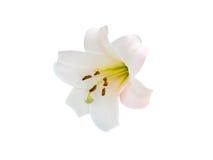 De bloemen van lelieverscheidenheden Royalty-vrije Stock Afbeelding
