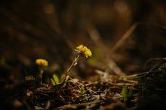 De bloemen van de lente in de zon Paardebloem Stock Foto