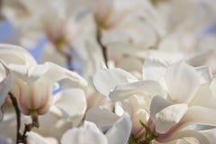 De bloemen van de de lentemagnolia Stock Fotografie