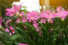 De bloemen van Lindl van Zephyranthesrosea Stock Afbeelding