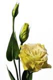 De bloemen van Lisianthus die op wit worden geïsoleerdu royalty-vrije stock afbeelding