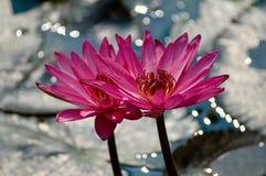 De Bloemen van Lotus Royalty-vrije Stock Afbeelding