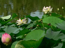 De bloemen van Lotus Stock Foto