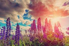 De bloemen van de Lupinebloesem op de donkere hemelachtergrond Royalty-vrije Stock Foto's