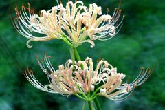De bloemen van Lycorisradiata in volledige bloei royalty-vrije stock afbeelding