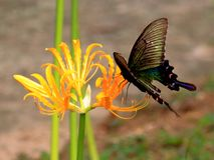 De bloemen van Lycorisradiata in volledige bloei royalty-vrije stock foto