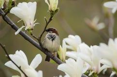De bloemen van de magnolialente stock foto's
