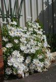 De bloemen van de margriet royalty-vrije stock foto